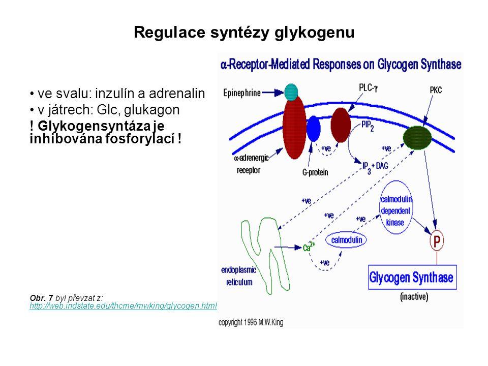 Regulace syntézy glykogenu ve svalu: inzulín a adrenalin v játrech: Glc, glukagon ! Glykogensyntáza je inhibována fosforylací ! Obr. 7 byl převzat z: