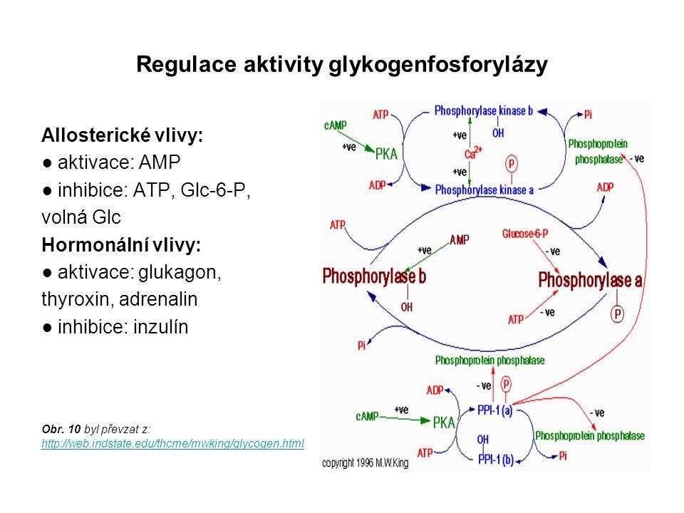 Regulace aktivity glykogenfosforylázy Allosterické vlivy: ● aktivace: AMP ● inhibice: ATP, Glc-6-P, volná Glc Hormonální vlivy: ● aktivace: glukagon,