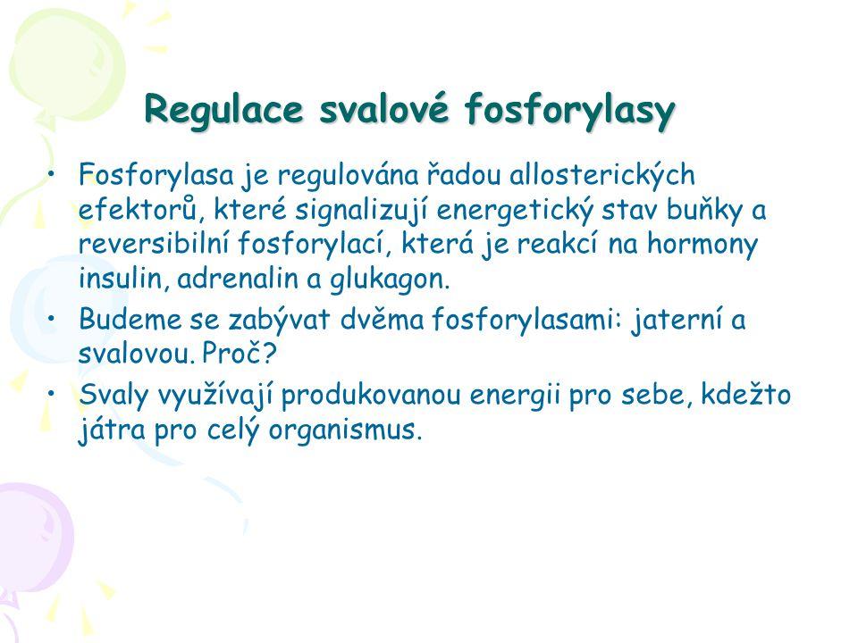 Regulace svalové fosforylasy Fosforylasa je regulována řadou allosterických efektorů, které signalizují energetický stav buňky a reversibilní fosforylací, která je reakcí na hormony insulin, adrenalin a glukagon.