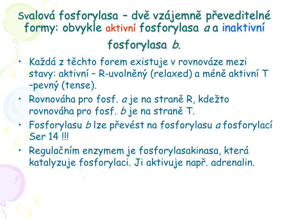 Sv alová fosforylasa – dvě vzájemně převeditelné formy: obvykle aktivní fosforylasa a a inaktivní fosforylasa b.