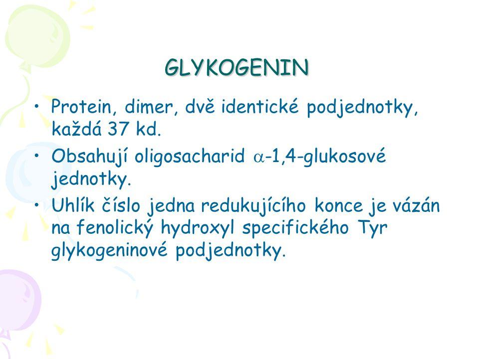 GLYKOGENIN Protein, dimer, dvě identické podjednotky, každá 37 kd. Obsahují oligosacharid  -1,4-glukosové jednotky. Uhlík číslo jedna redukujícího ko