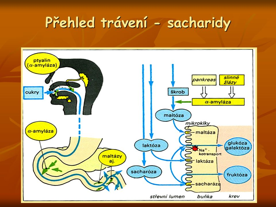 Přehled trávení - sacharidy