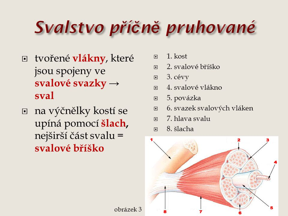  tvořené vlákny, které jsou spojeny ve svalové svazky → sval  na výčnělky kostí se upíná pomocí šlach, nejširší část svalu = svalové bříško  1. kos
