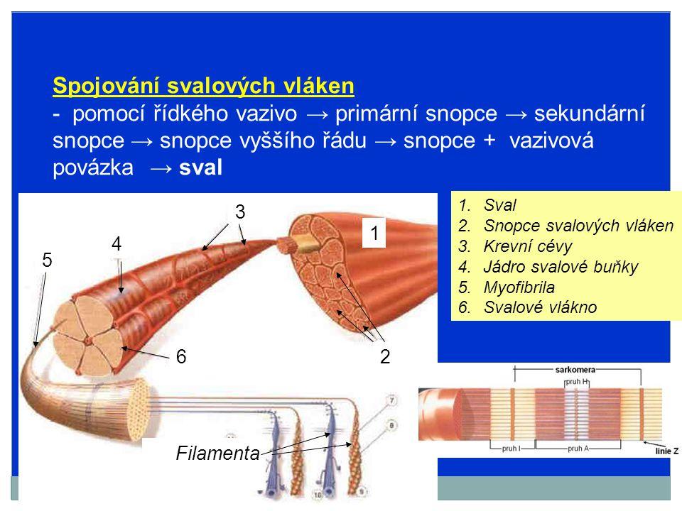 V sarkoplazmě svalových vláken → myofibrily (1000-2000) (paralelně vedle sebe) Myofibrila sarkoméry (2,5 μm) → kontraktilní jednotky Sarkoméra → ohraničena 2 memránami – linie Z obsahuje silná filamenta (myozinová) slabá filamenta (aktinová) Linie Z, pás I, pás A, pás H (překrývání aktinových a myozínových fi.) Tmavší, silně dvojlomné Světlejší, slabě dvojlomné