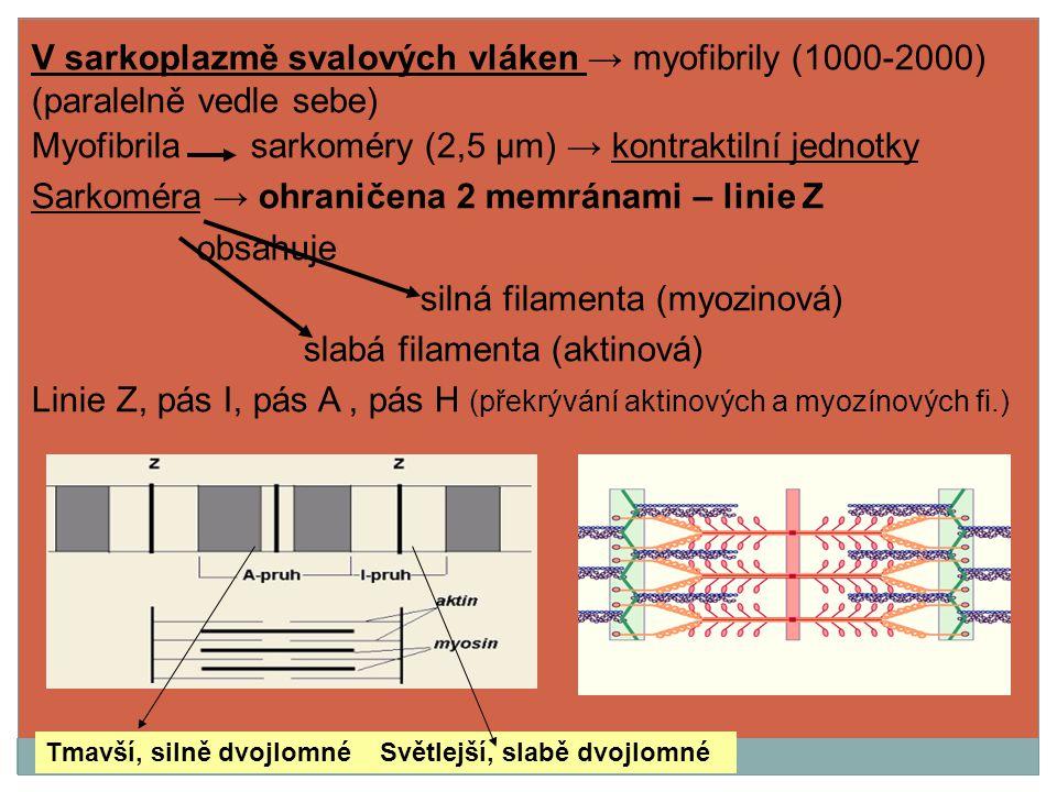 V sarkoplazmě svalových vláken → myofibrily (1000-2000) (paralelně vedle sebe) Myofibrila sarkoméry (2,5 μm) → kontraktilní jednotky Sarkoméra → ohran