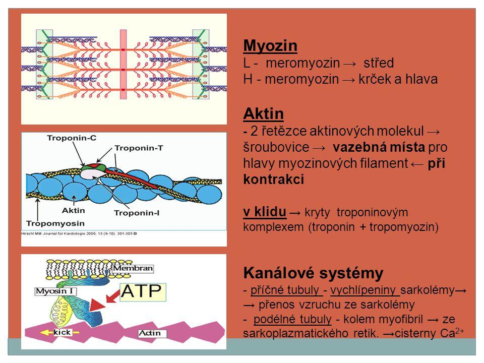 Myozin L - meromyozin → střed H - meromyozin → krček a hlava Aktin - 2 řetězce aktinových molekul → šroubovice → vazebná místa pro hlavy myozinových f