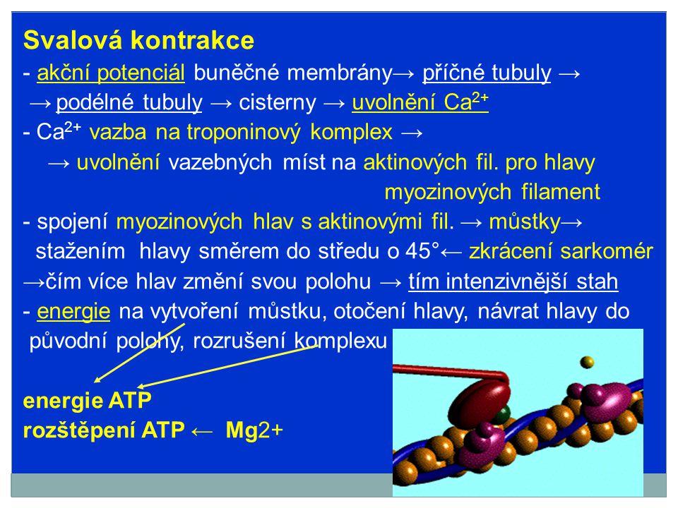 Není-li ATP k dispozici→spojení aktinu a myozinem přetrvává → → sval nemůže být protažen → podíl na vzniku rigor mortis (+ kyselina mléčná) Obnova ATP - z jiných makroergních vazeb – kreatinfosfát (kreatinfosfokináza) - oxidační fosforylací z glukózy, MK, snad i AMK - anaerobní glykolýza – svalový glykogen → k.