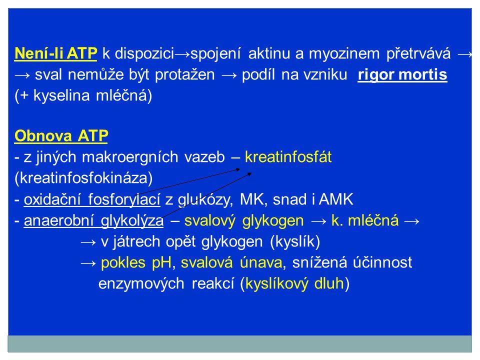 Není-li ATP k dispozici→spojení aktinu a myozinem přetrvává → → sval nemůže být protažen → podíl na vzniku rigor mortis (+ kyselina mléčná) Obnova ATP