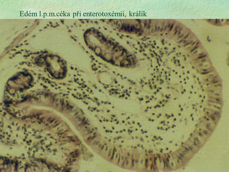 18 Edém l.p.m.céka při enterotoxémii, králík