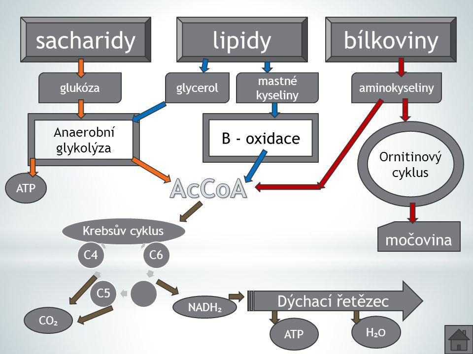 sacharidylipidybílkoviny glukóza mastné kyseliny glycerolaminokyseliny Anaerobní glykolýza Β - oxidace Krebsův cyklusC6C5C4 ATP CO ₂ Ornitinový cyklus