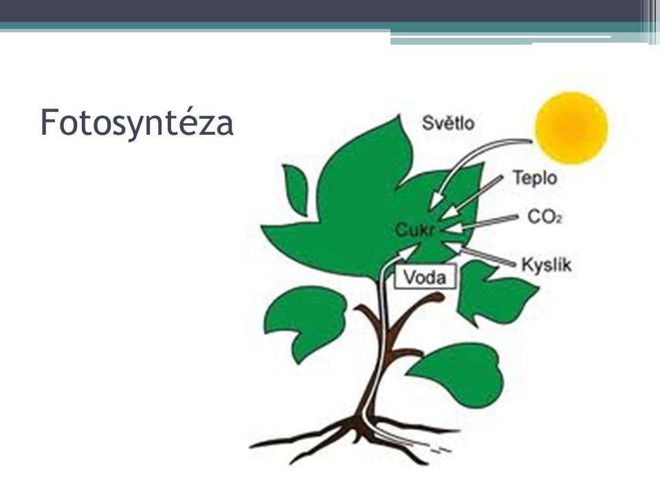 Sacharidy v rostlinách V tělech rostlin mají sacharidy především stavební funkci.