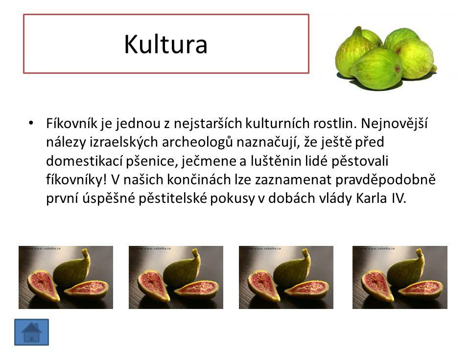 Kultura Fíkovník je jednou z nejstarších kulturních rostlin. Nejnovější nálezy izraelských archeologů naznačují, že ještě před domestikací pšenice, je
