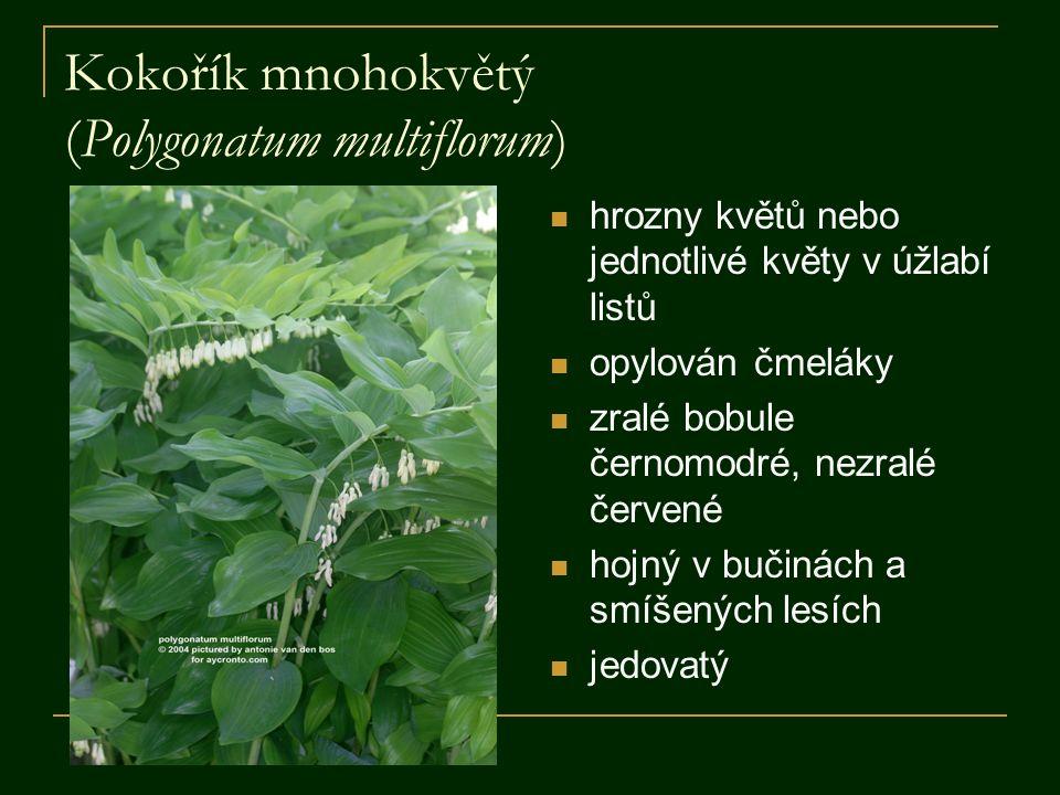 Kokořík mnohokvětý (Polygonatum multiflorum) hrozny květů nebo jednotlivé květy v úžlabí listů opylován čmeláky zralé bobule černomodré, nezralé červené hojný v bučinách a smíšených lesích jedovatý