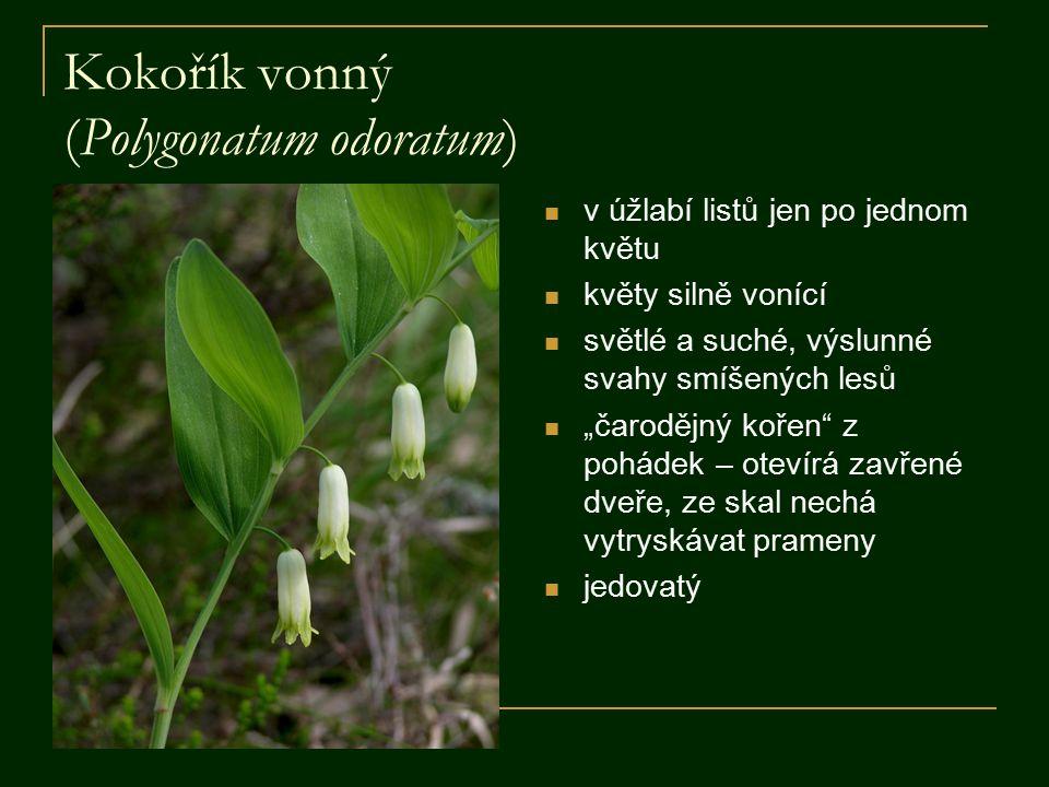 """Kokořík vonný (Polygonatum odoratum) v úžlabí listů jen po jednom květu květy silně vonící světlé a suché, výslunné svahy smíšených lesů """"čarodějný kořen z pohádek – otevírá zavřené dveře, ze skal nechá vytryskávat prameny jedovatý"""