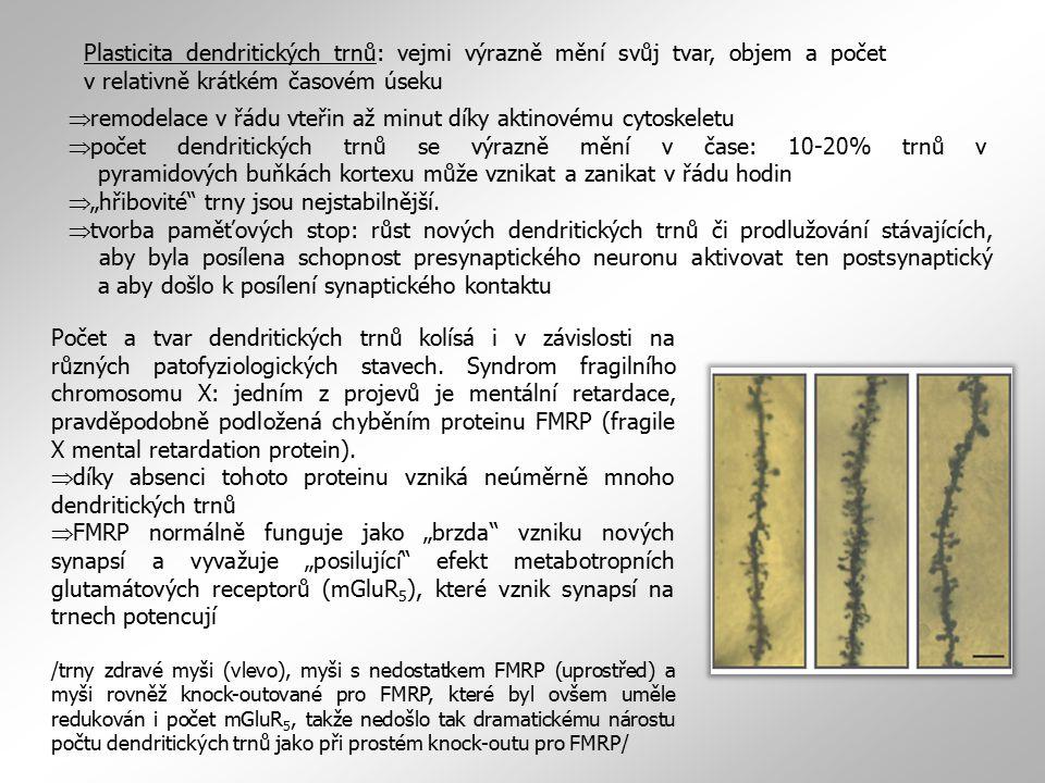 Plasticita dendritických trnů: vejmi výrazně mění svůj tvar, objem a počet v relativně krátkém časovém úseku  remodelace v řádu vteřin až minut díky