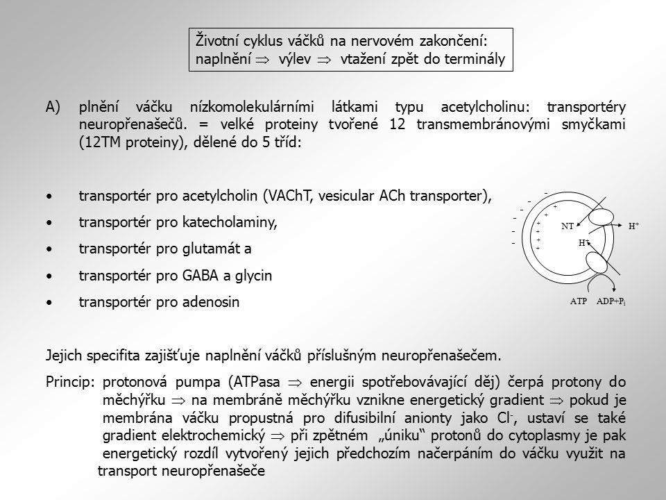 A)plnění váčku nízkomolekulárními látkami typu acetylcholinu: transportéry neuropřenašečů. = velké proteiny tvořené 12 transmembránovými smyčkami (12T