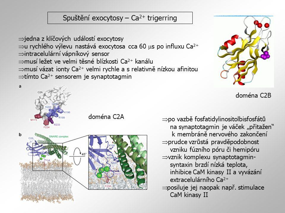 Spuštění exocytosy – Ca 2+ trigerring  jedna z klíčových událostí exocytosy  u rychlého výlevu nastává exocytosa cca 60  s po influxu Ca 2+  intra