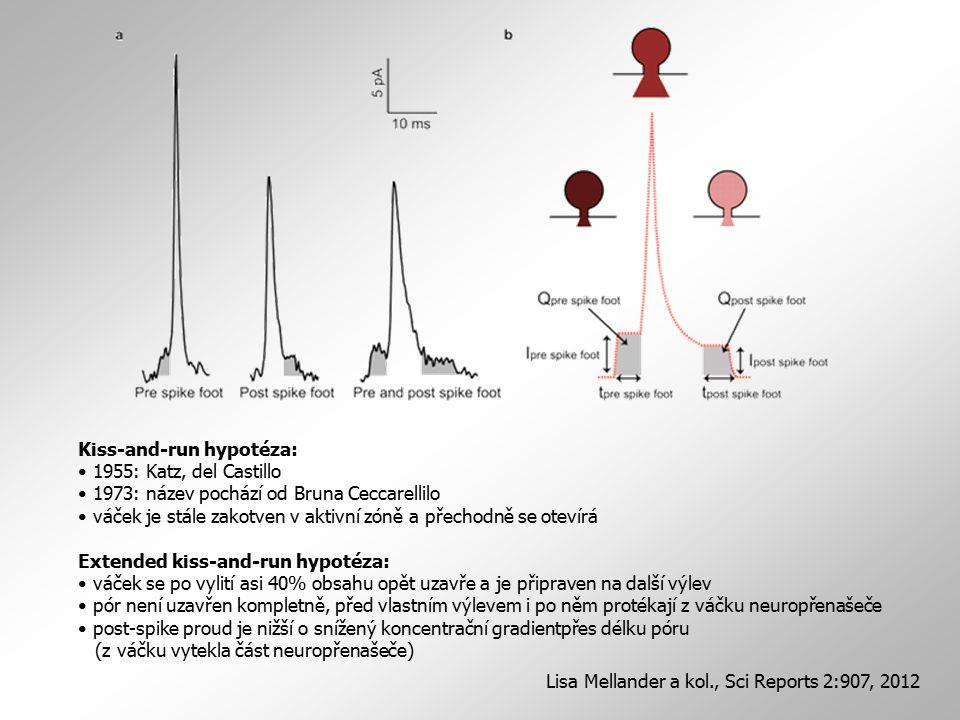 Kiss-and-run hypotéza: 1955: Katz, del Castillo 1973: název pochází od Bruna Ceccarellilo váček je stále zakotven v aktivní zóně a přechodně se otevír