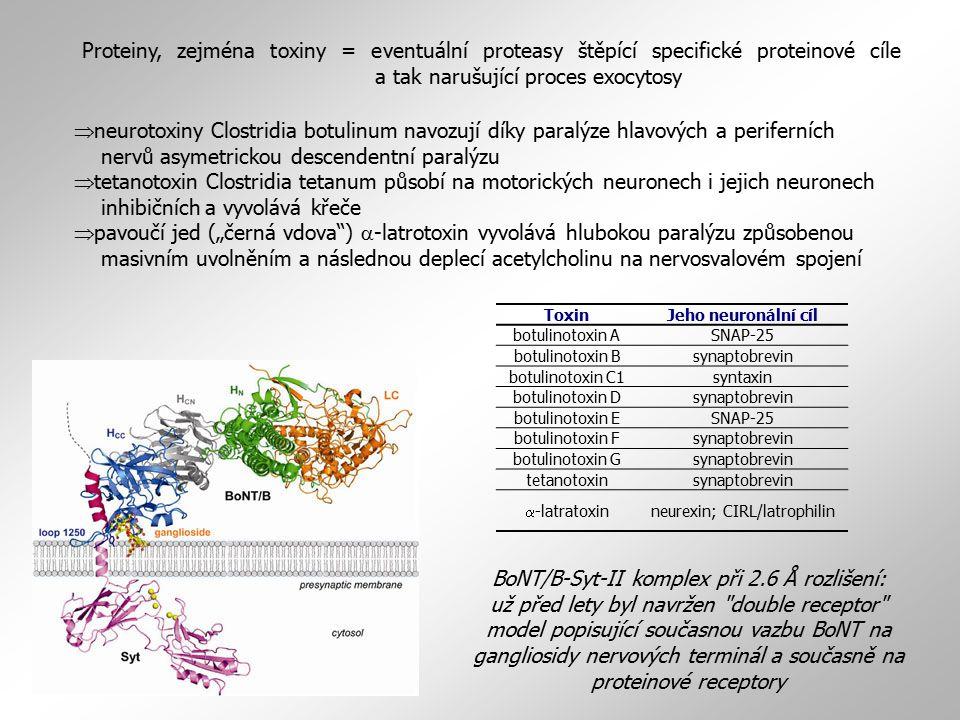 BoNT/B-Syt-II komplex při 2.6 Å rozlišení: už před lety byl navržen