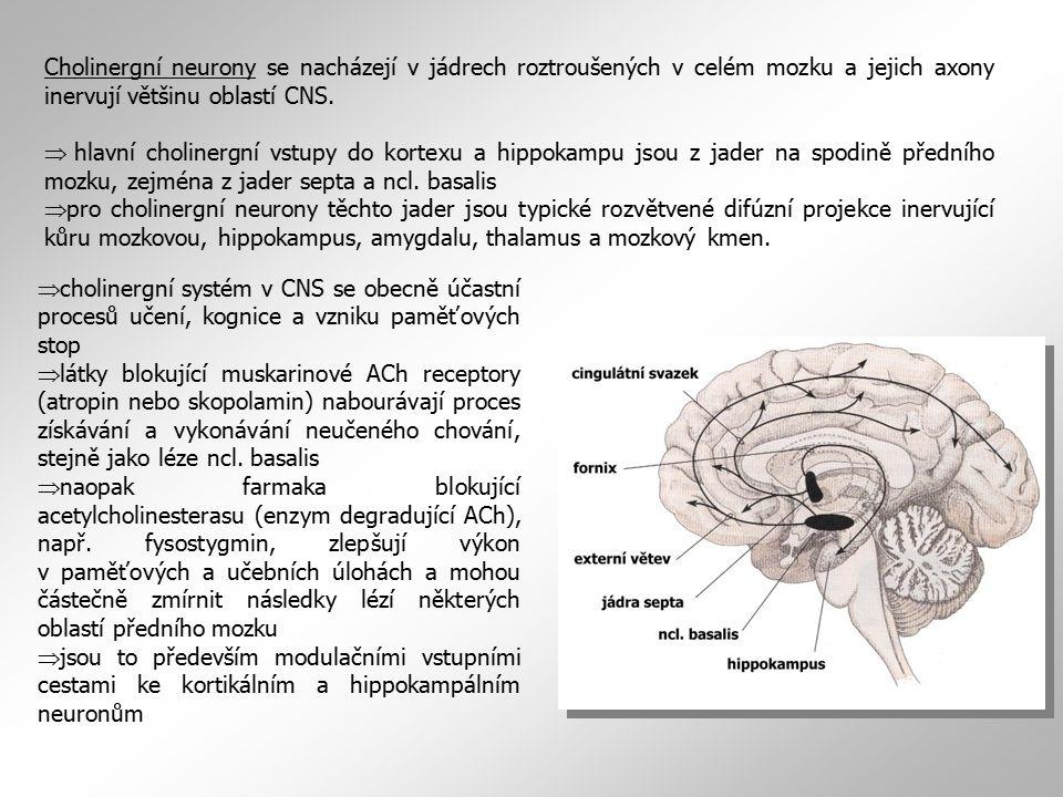 Cholinergní neurony se nacházejí v jádrech roztroušených v celém mozku a jejich axony inervují většinu oblastí CNS. Þ hlavní cholinergní vstupy do kor