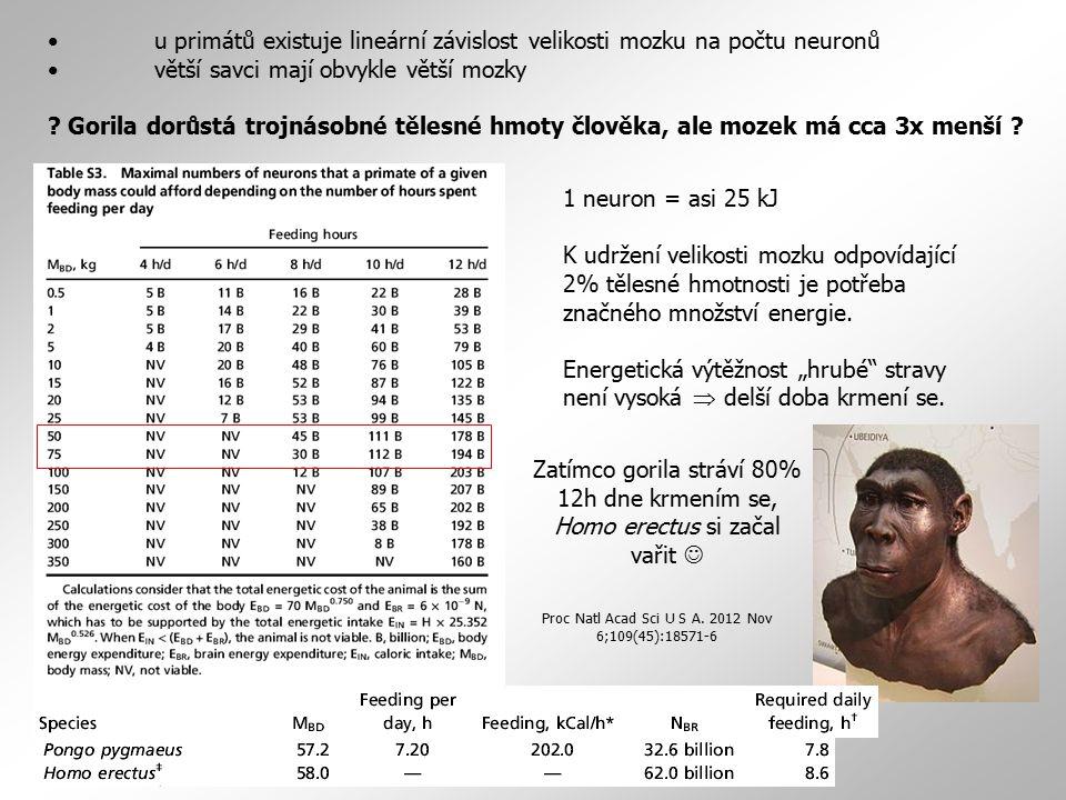 u primátů existuje lineární závislost velikosti mozku na počtu neuronů větší savci mají obvykle větší mozky ? Gorila dorůstá trojnásobné tělesné hmoty
