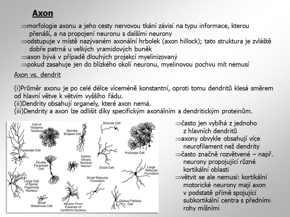  morfologie axonu a jeho cesty nervovou tkání závisí na typu informace, kterou přenáší, a na propojení neuronu s dalšími neurony  odstupuje v místě