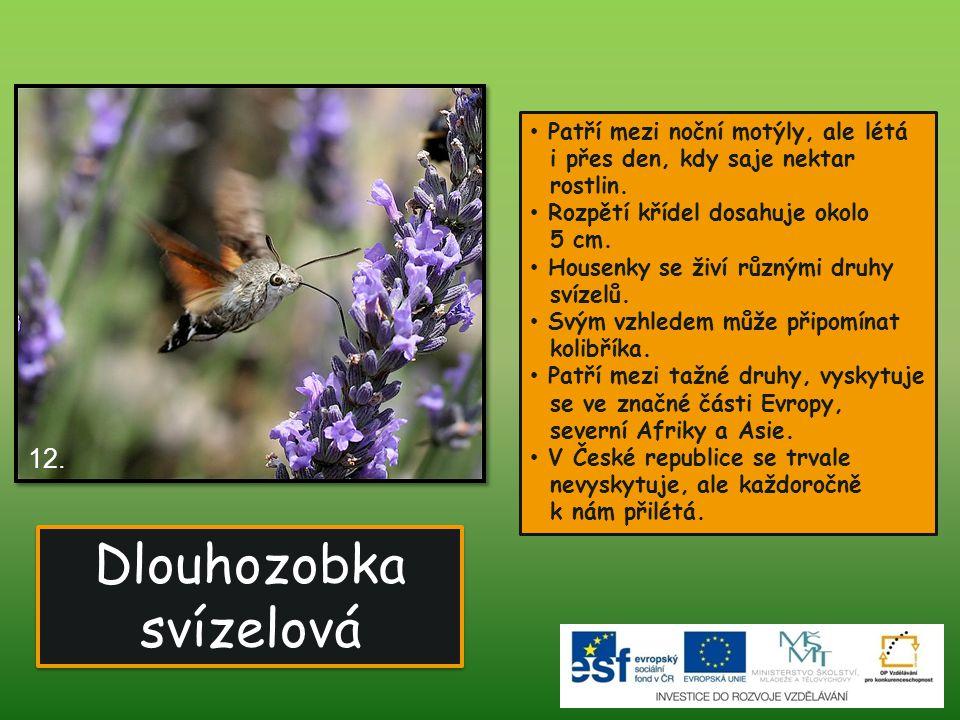 Dlouhozobka svízelová Dlouhozobka svízelová 12. Patří mezi noční motýly, ale létá i přes den, kdy saje nektar rostlin. Rozpětí křídel dosahuje okolo 5