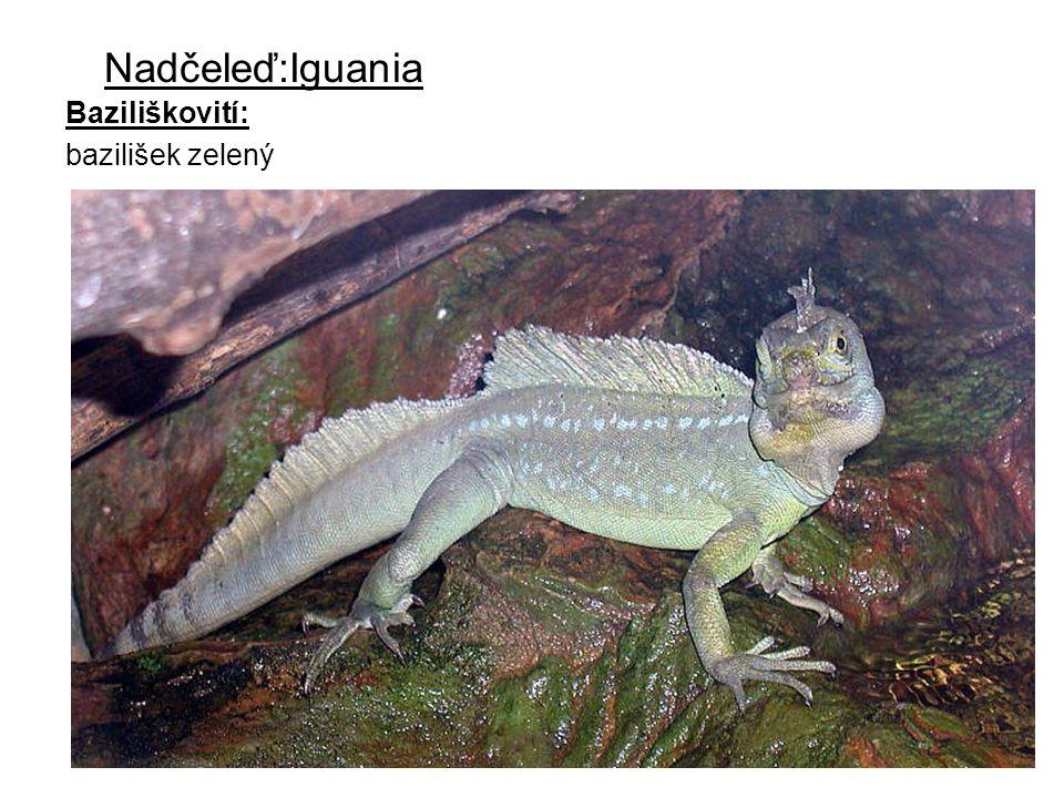 Leguanovití Areálem jejich rozšíření jsou především tropy a subtropy severní a jižní Ameriky, dále se vyskytují na Galapágách a ostrovech Tonga a Fidži Leguan černý Leguan zelený