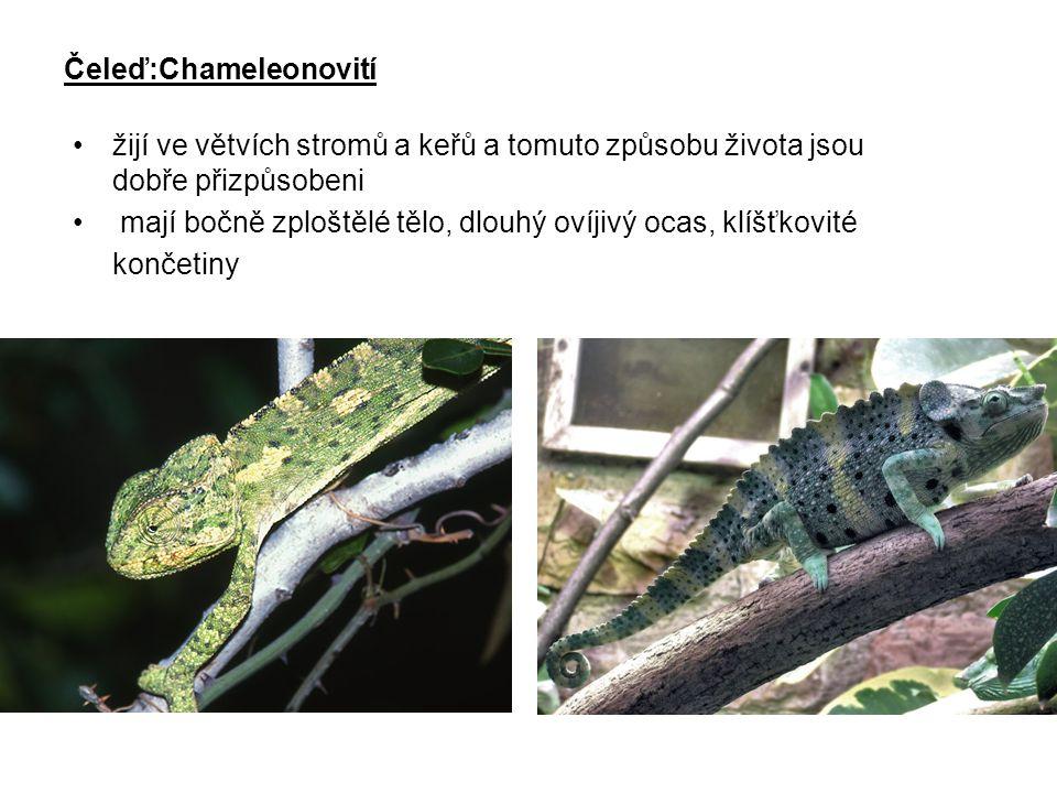 Čeleď:Chameleonovití žijí ve větvích stromů a keřů a tomuto způsobu života jsou dobře přizpůsobeni mají bočně zploštělé tělo, dlouhý ovíjivý ocas, klí