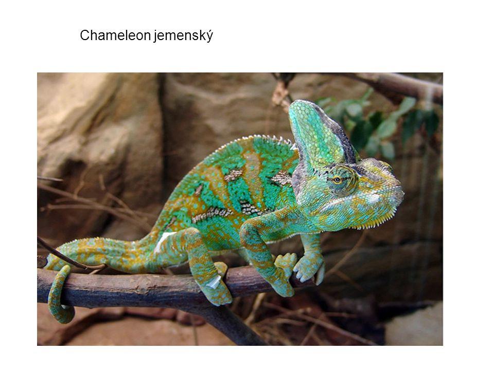 Nadčeleď:Gekkota Čeleď:Gekonovití: jsou čeledí malých až středně velkých ještěrů, charakteristická prsty s přísavnými ploškami a srostlými očními víčky.