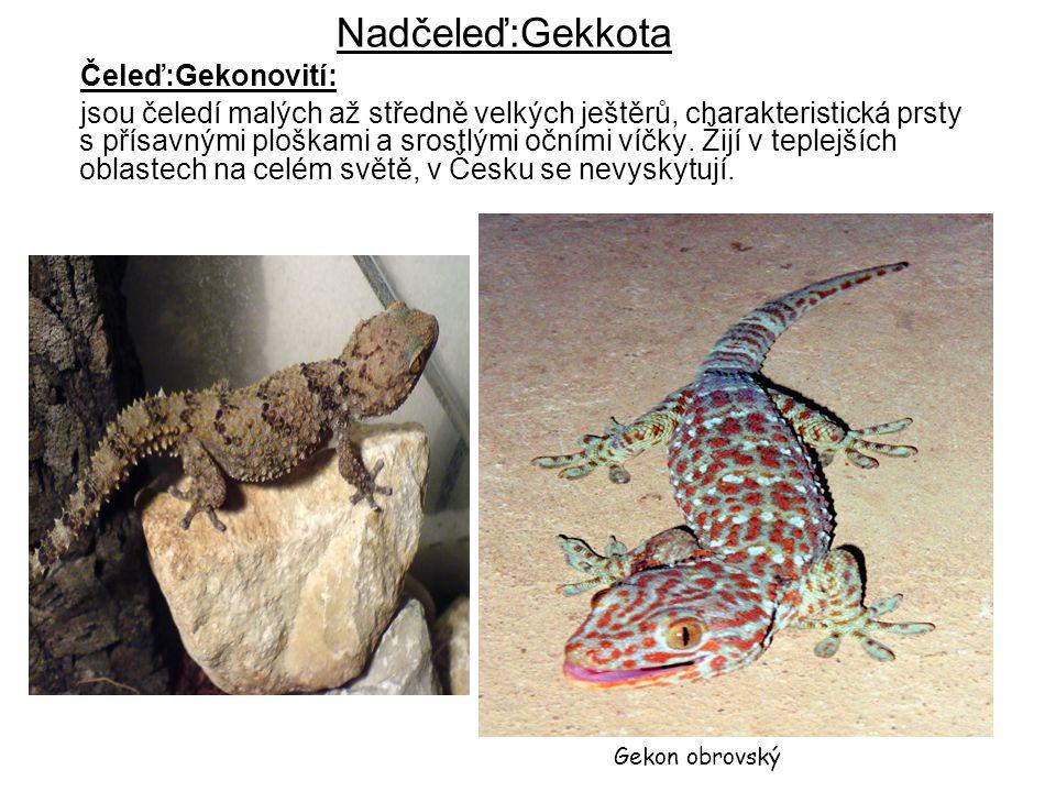 Nadčeleď:Gekkota Čeleď:Gekonovití: jsou čeledí malých až středně velkých ještěrů, charakteristická prsty s přísavnými ploškami a srostlými očními víčk