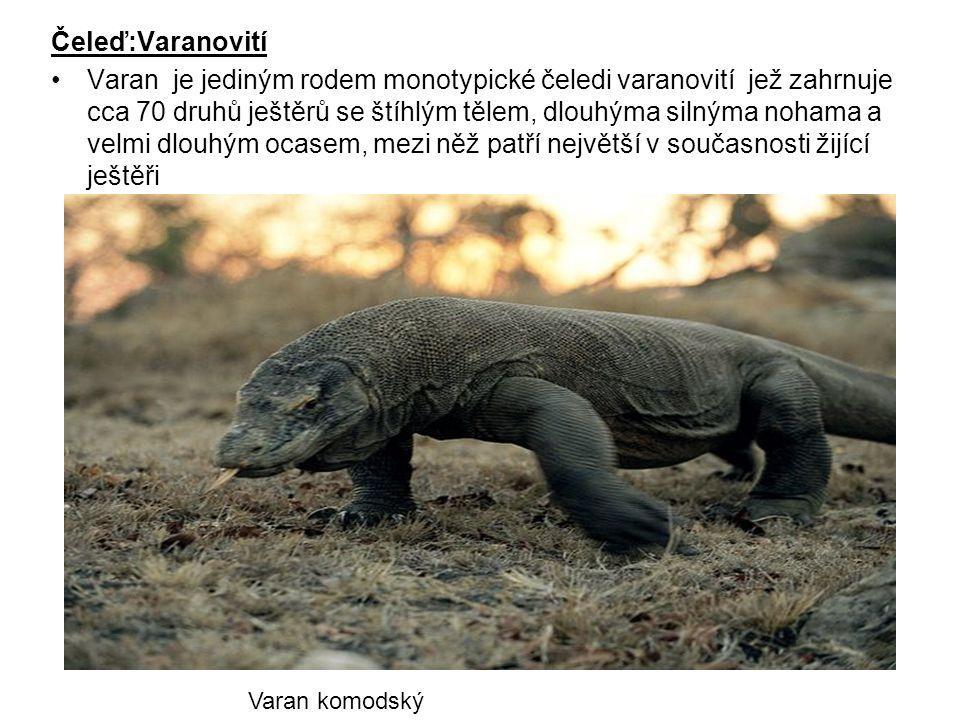 Čeleď:Varanovití Varan je jediným rodem monotypické čeledi varanovití jež zahrnuje cca 70 druhů ještěrů se štíhlým tělem, dlouhýma silnýma nohama a ve