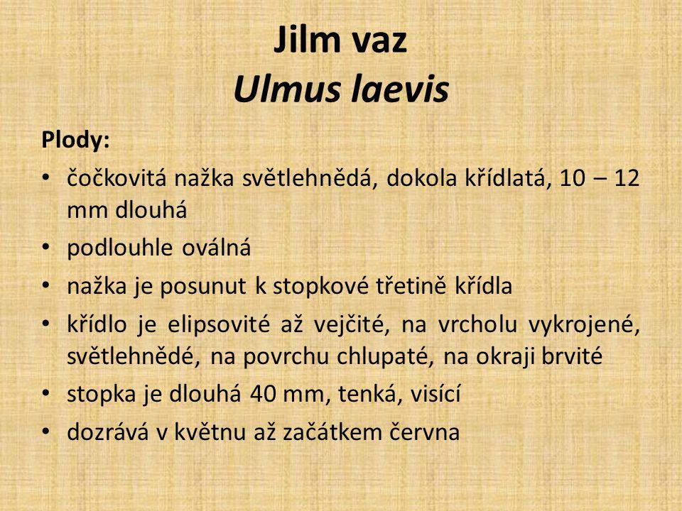 Jilm vaz Ulmus laevis Plody: čočkovitá nažka světlehnědá, dokola křídlatá, 10 – 12 mm dlouhá podlouhle oválná nažka je posunut k stopkové třetině kříd