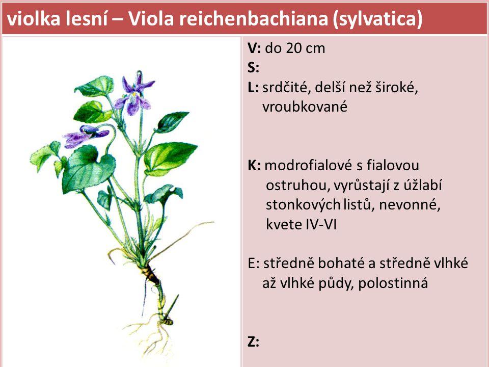 violka lesní – Viola reichenbachiana (sylvatica) V: do 20 cm S: L: srdčité, delší než široké, vroubkované K: modrofialové s fialovou ostruhou, vyrůstají z úžlabí stonkových listů, nevonné, kvete IV-VI E: středně bohaté a středně vlhké až vlhké půdy, polostinná Z: