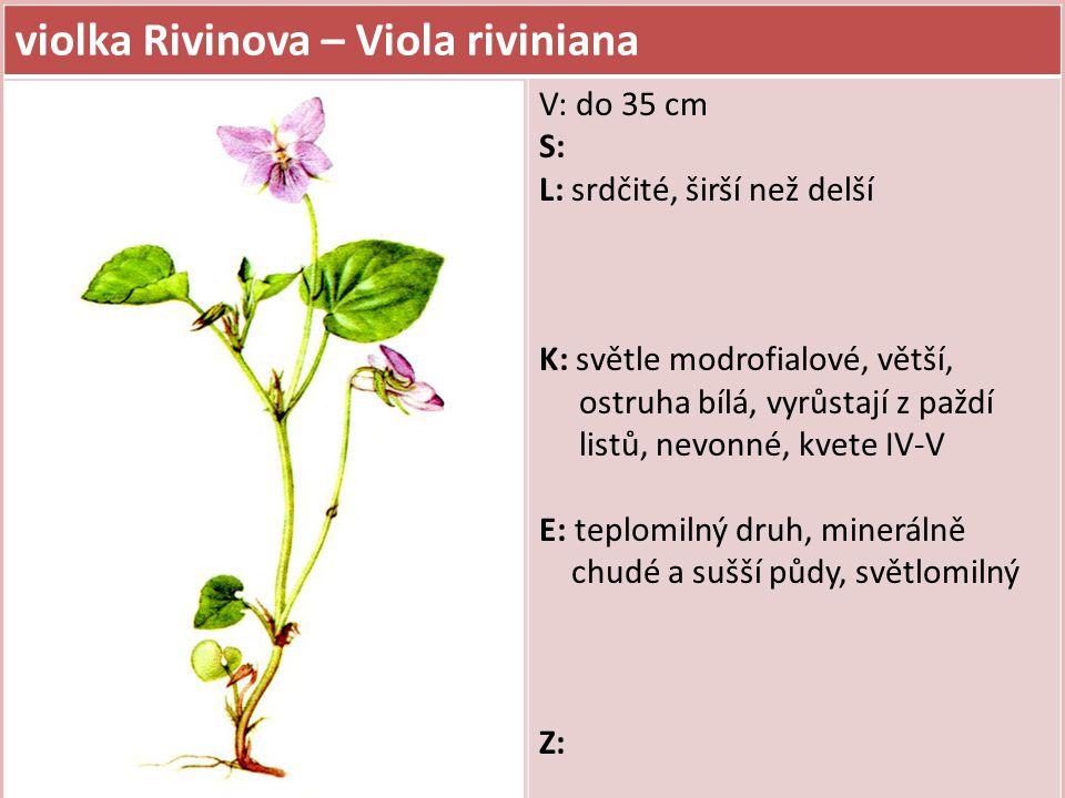 violka Rivinova – Viola riviniana V: do 35 cm S: L: srdčité, širší než delší K: světle modrofialové, větší, ostruha bílá, vyrůstají z paždí listů, nev