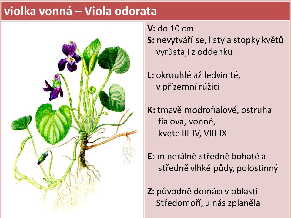 violka vonná – Viola odorata V: do 10 cm S: nevytváří se, listy a stopky květů vyrůstají z oddenku L: okrouhlé až ledvinité, v přízemní růžici K: tmavě modrofialové, ostruha fialová, vonné, kvete III-IV, VIII-IX E: minerálně středně bohaté a středně vlhké půdy, polostinný Z: původně domácí v oblasti Středomoří, u nás zplaněla