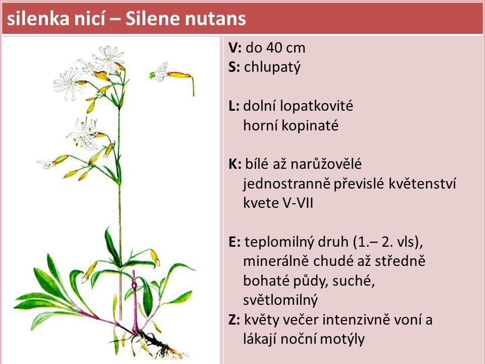 silenka nicí – Silene nutans V: do 40 cm S: chlupatý L: dolní lopatkovité horní kopinaté K: bílé až narůžovělé jednostranně převislé květenství kvete