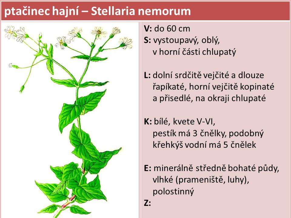 ptačinec hajní – Stellaria nemorum V: do 60 cm S: vystoupavý, oblý, v horní části chlupatý L: dolní srdčitě vejčité a dlouze řapíkaté, horní vejčitě k
