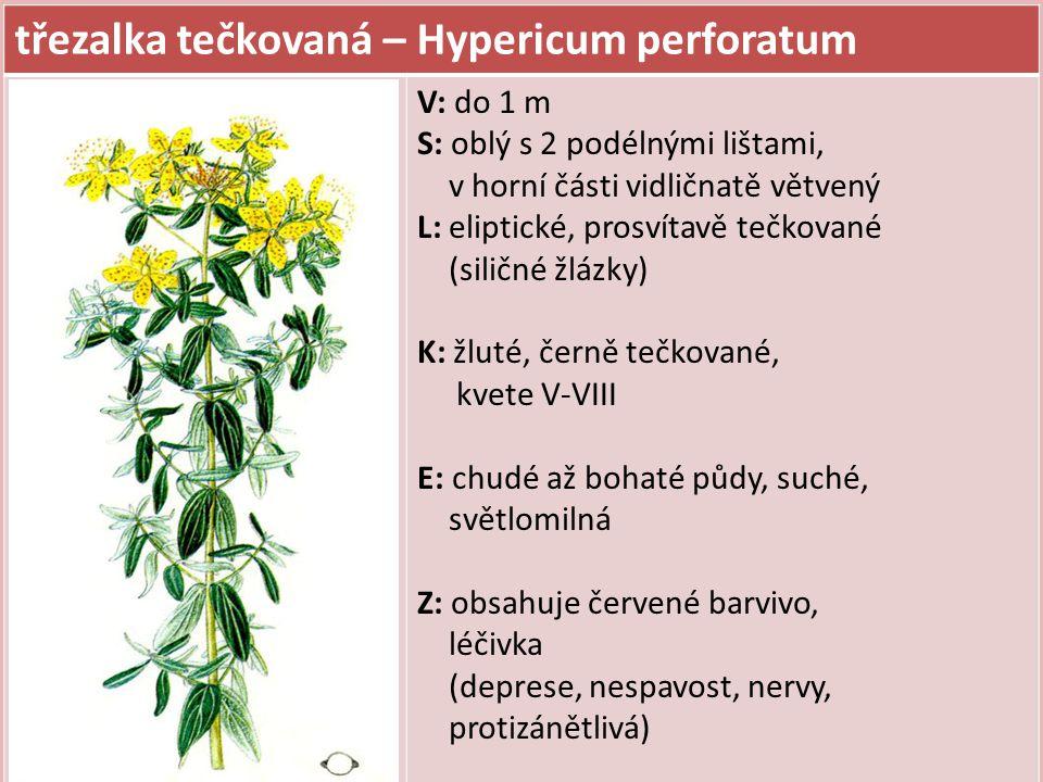 třezalka tečkovaná – Hypericum perforatum V: do 1 m S: oblý s 2 podélnými lištami, v horní části vidličnatě větvený L: eliptické, prosvítavě tečkované (siličné žlázky) K: žluté, černě tečkované, kvete V-VIII E: chudé až bohaté půdy, suché, světlomilná Z: obsahuje červené barvivo, léčivka (deprese, nespavost, nervy, protizánětlivá)