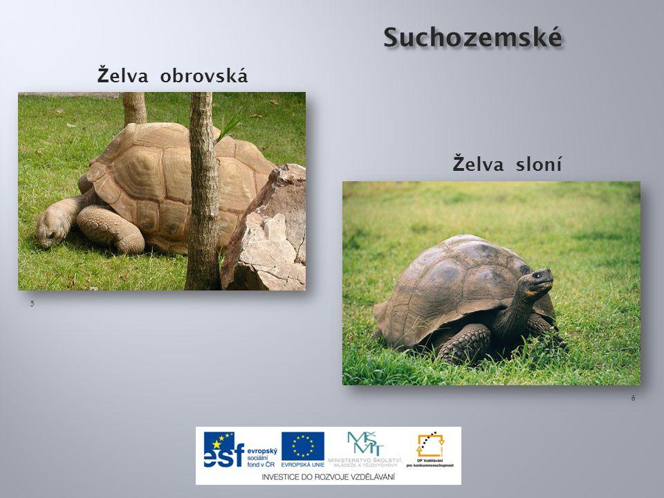 Ž elva bahenní Želva bahenní je jediná sladkovodní želva, která žije v některých lokalitách ČR.