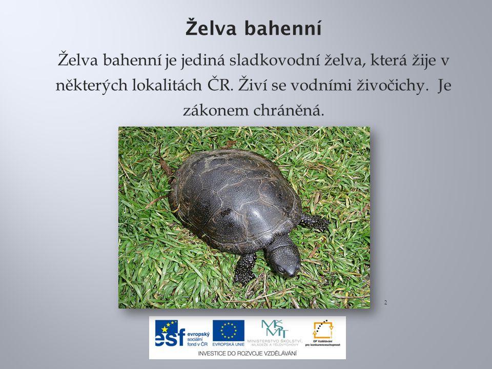 Ž elva bahenní Želva bahenní je jediná sladkovodní želva, která žije v některých lokalitách ČR. Živí se vodními živočichy. Je zákonem chráněná. 2