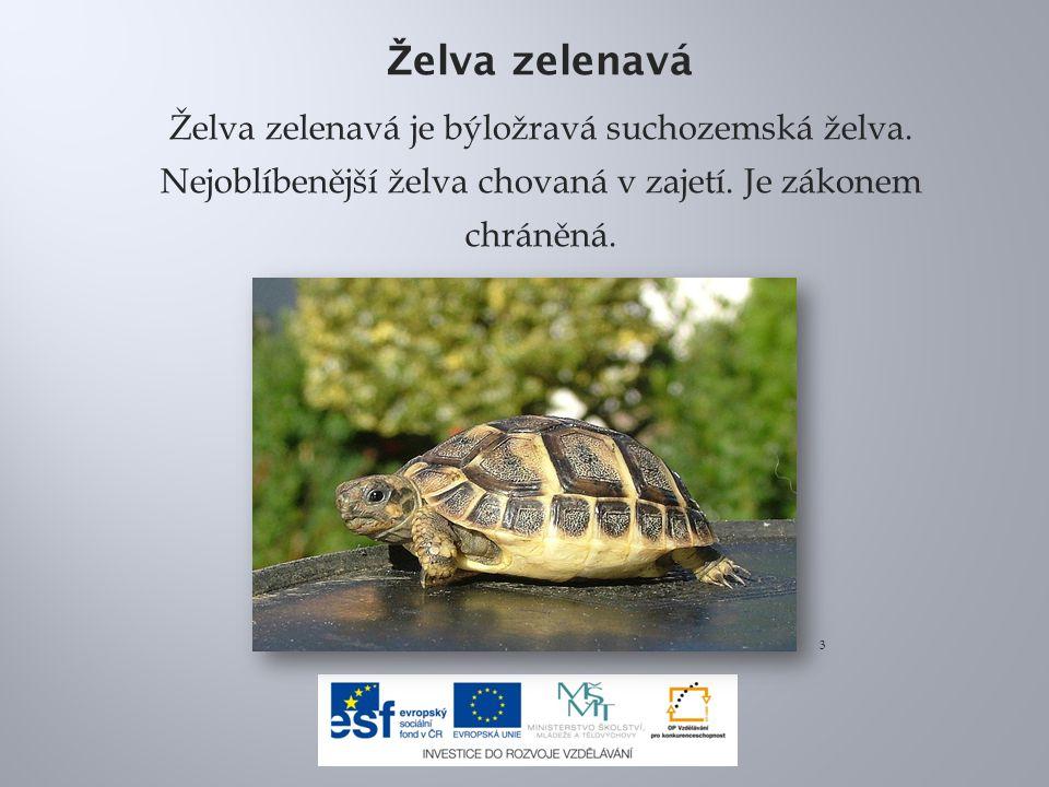 Ž elva zelenavá Želva zelenavá je býložravá suchozemská želva. Nejoblíbenější želva chovaná v zajetí. Je zákonem chráněná. 3