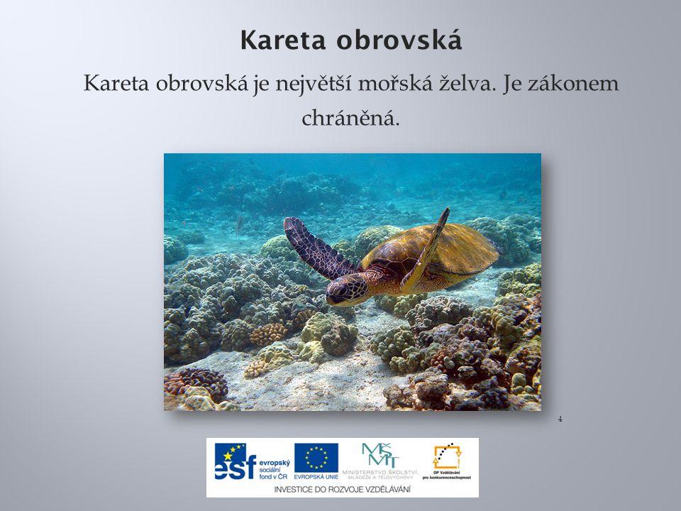 Kareta obrovská Kareta obrovská je největší mořská želva. Je zákonem chráněná. 4