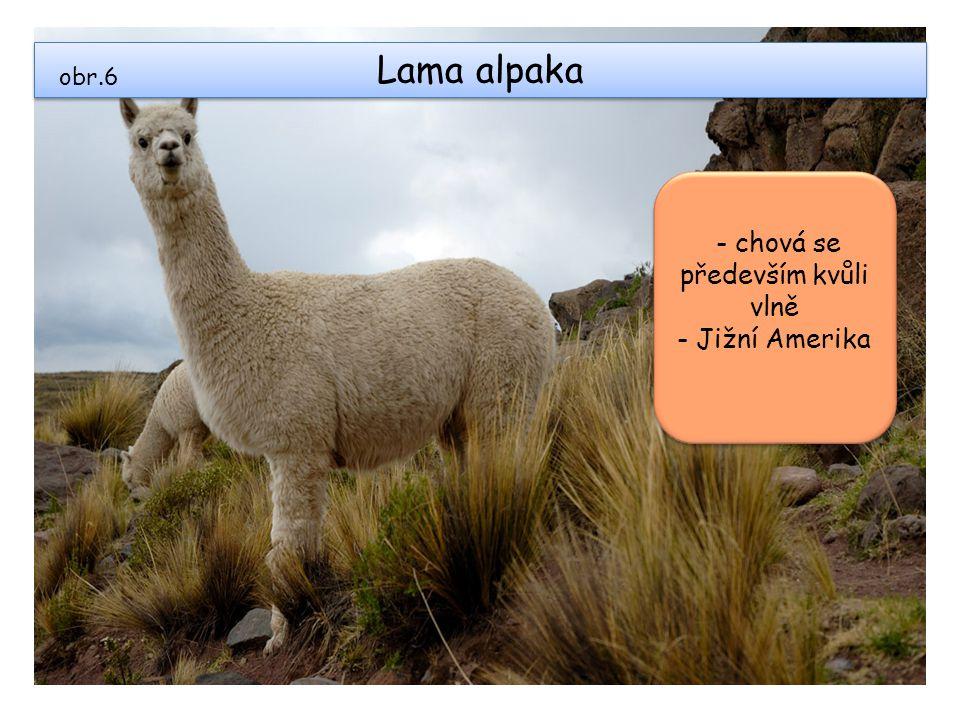 Lama alpaka obr.6 - chová se především kvůli vlně - Jižní Amerika - chová se především kvůli vlně - Jižní Amerika