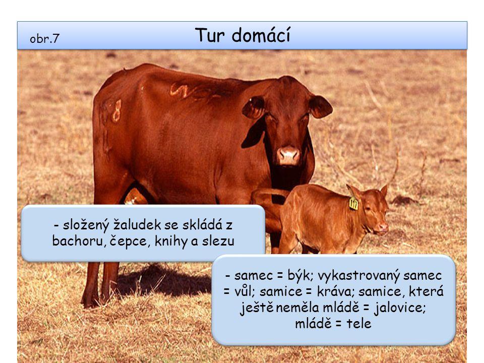 Tur domácí obr.7 - složený žaludek se skládá z bachoru, čepce, knihy a slezu - samec = býk; vykastrovaný samec = vůl; samice = kráva; samice, která je