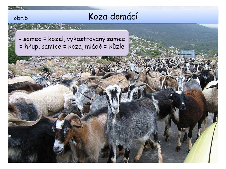 Koza domácí obr.8 - samec = kozel, vykastrovaný samec = hňup, samice = koza, mládě = kůzle - samec = kozel, vykastrovaný samec = hňup, samice = koza,