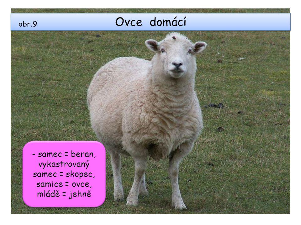 Ovce domácí obr.9 - samec = beran, vykastrovaný samec = skopec, samice = ovce, mládě = jehně