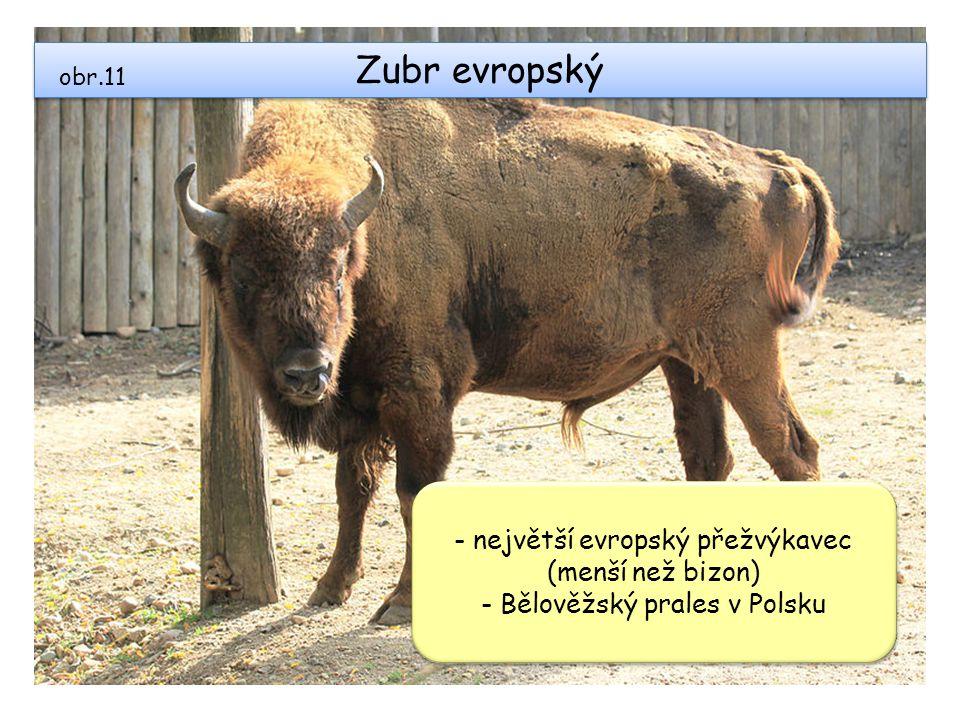 Zubr evropský obr.11 - největší evropský přežvýkavec (menší než bizon) - Bělověžský prales v Polsku - největší evropský přežvýkavec (menší než bizon)