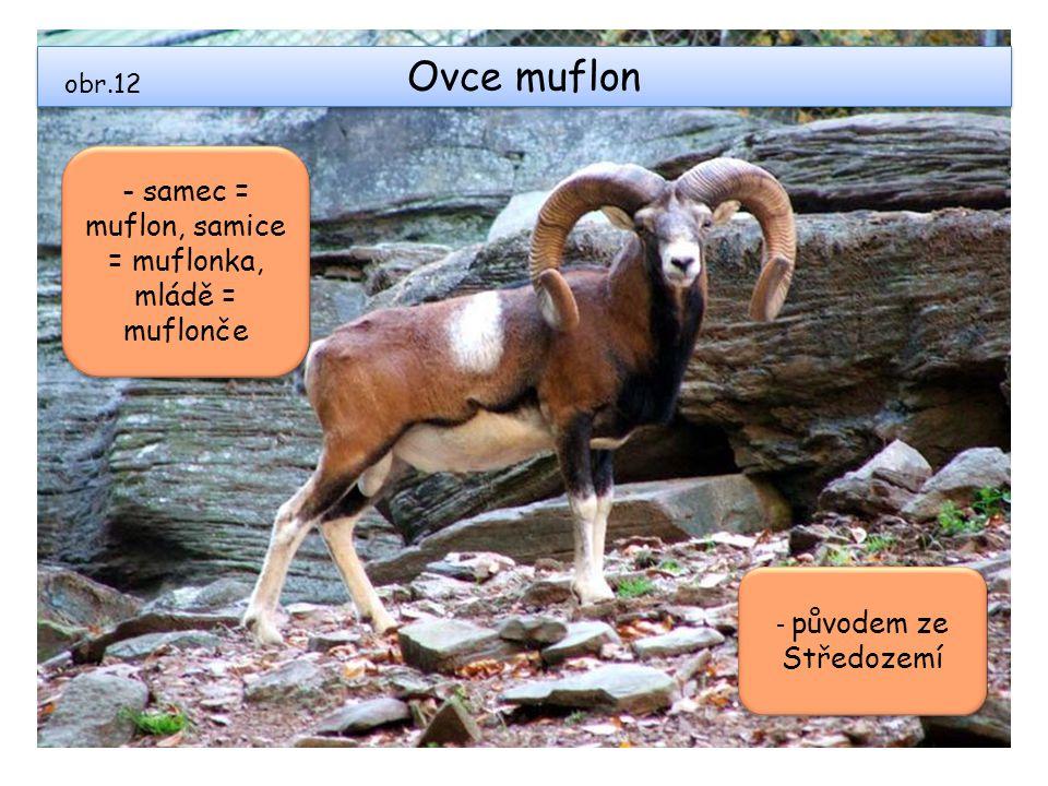 Ovce muflon obr.12 - samec = muflon, samice = muflonka, mládě = muflonče - původem ze Středozemí
