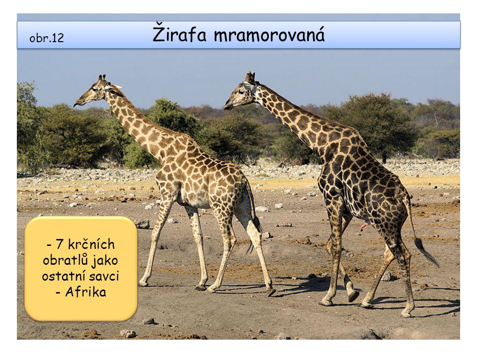 Žirafa mramorovaná obr.12 - 7 krčních obratlů jako ostatní savci - Afrika - 7 krčních obratlů jako ostatní savci - Afrika